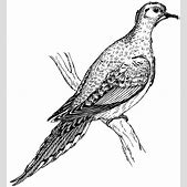 Mourning Dove D...