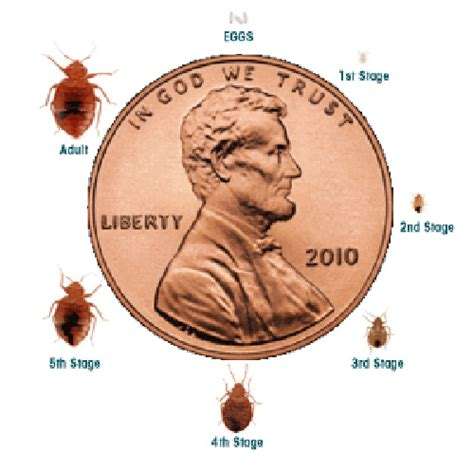 how big can a bed bug get what do bed bugs look like