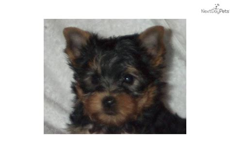 adopt a louisville ky yorkie terrier mix for adoption in louisville kentucky breeds picture