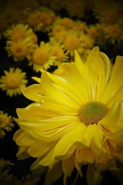 Anemone Megumi plantfiles pictures cascade anemone megumi