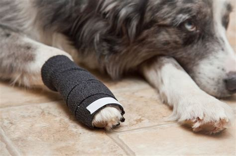 how to wrap a s paw how to bandage a s broken toe with pictures ehow