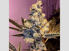 Sophisticated Lady (by Gage Green Genetics) :: SeedFinder ... X 2 Review