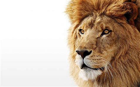 wallpaper tumblr lion white lion backgrounds wallpaper cave