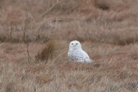 snowy owls from ny to nj by alex lamoreaux nemesis bird