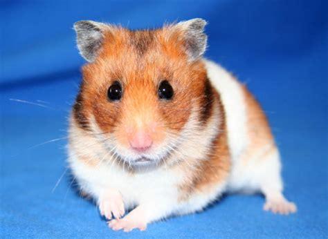 Makanan Hamster Golden Hamster file goldhamster 2 jpg wikimedia commons