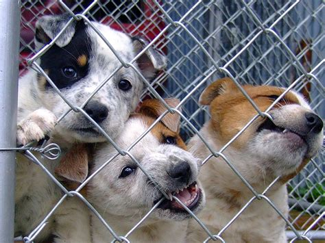 puppy mills in florida ban on puppy mills could be at risk if florida bill passes it to sell