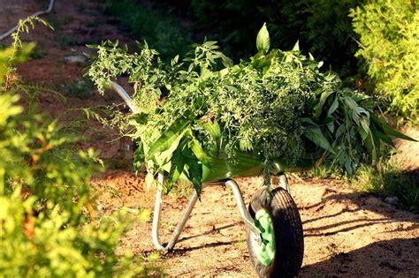backyard full of weeds garden of weed 25 plant quot 618 quot lb mendo dope marijuana garden featured in high the