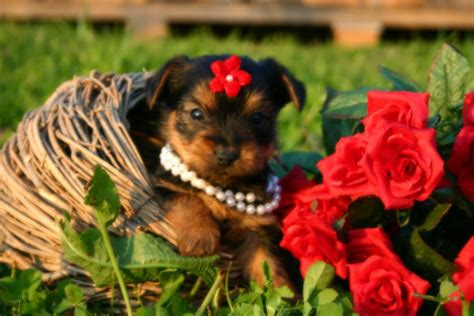 are yorkies for allergy sufferers terrier puppies for sale princess puppies