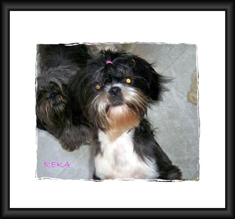 shih tzu rescue mn strmn shih tzu rescue of minnesota breeds picture