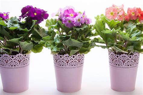 primule in vaso piante da appartamento la felce coltivazione e cura