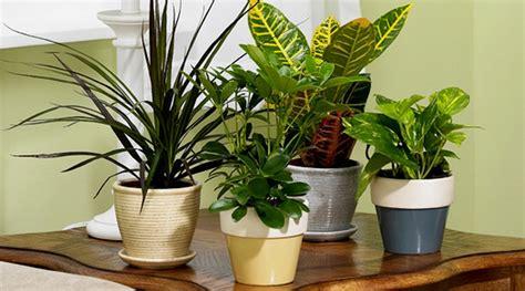 tanaman hias pembersih udara  ruangan bibitbungacom