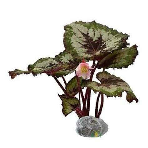 Jual Bibit Bunga Begonia jual tanaman begonia rex bibit