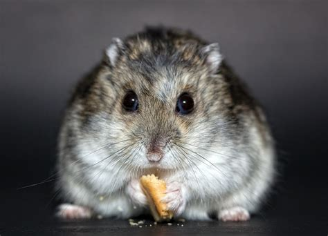 hamster with photo hamster hamster dschungare