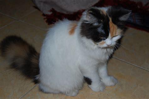Sho Kucing Anggora foto anak anjing lucu dan imut terbaru display picture update