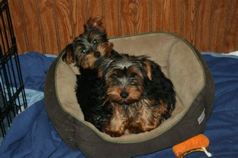 how do you potty a yorkie housetraining your yorkie yorkie splash and shine