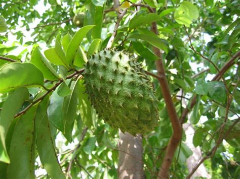 Bibit Cengkeh Di Lung health soursop tamer cancer more powerful than chemotherapy