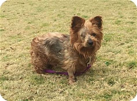 yorkie puppies knoxville tn knoxville tn yorkie terrier mix meet a for adoption