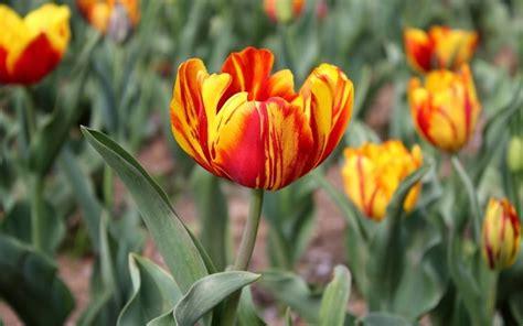 fiori giardino perenni fiori da giardino perenni giardinaggio tipologie di