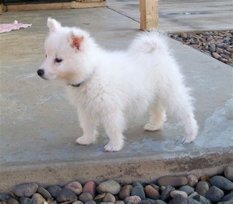 american puppies american eskimo puppy pictures