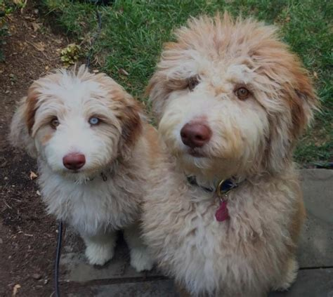 aussiedoodle puppies for sale pa aussiedoodle rescue shelter breeds picture
