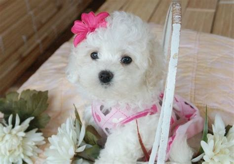 white bolognese puppies sale 17 best images about what is a bolognese on dogs and puppies