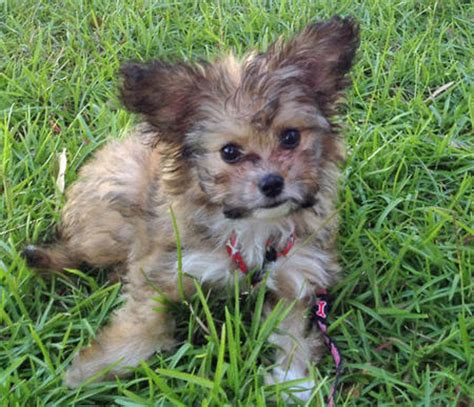 yorkie poo for sale hshire yorkie papillon mix puppies breeds picture