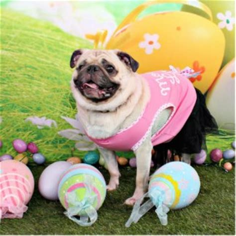 easter pug pictures easter pug photo and wallpaper beautiful easter pug pictures