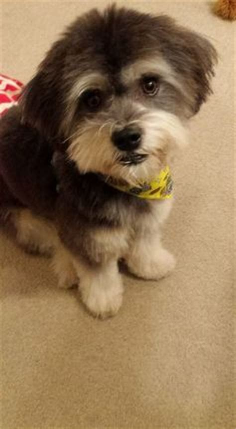 akc rules for giving a havanese a hair cut grooming a havanese dogs dogs dogs pinterest
