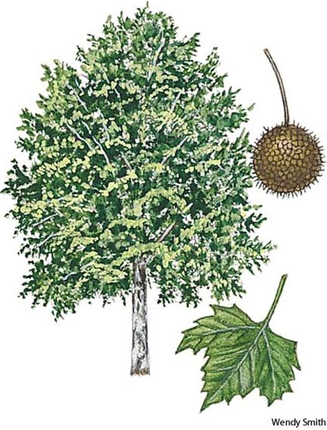 borne fruit definition sycamore dictionary definition sycamore defined