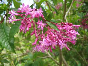 Large Pink Flowering Shrub - exotic shrubs the trees amp flowers of whangarei