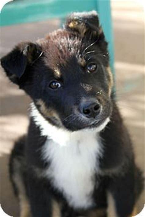 border collie rottweiler mix boulder co border collie rottweiler mix meet oliver a puppy for adoption http