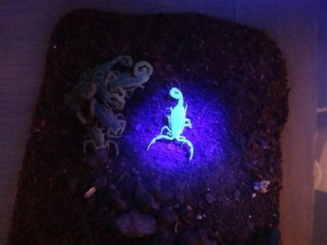 glow in the dark scorpion tattoo 39 best images about adorable scorpion on pinterest glow