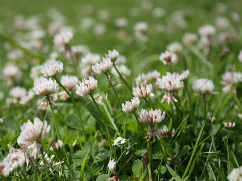 buy white clover green manure trifolium repens delivery by crocus