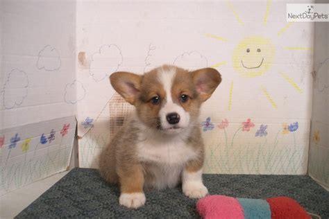 cowboy corgi puppies for sale corgi puppies for sale 0 00 pembroke corgi puppies for sale breeds picture