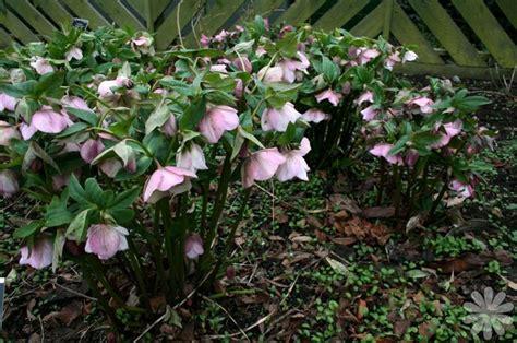 helleborus orientalis lenten rose shadeplants partially shade
