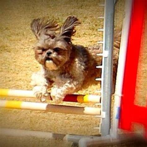 shih tzu obedience 17 best images about sports on australian shepherd agility workouts