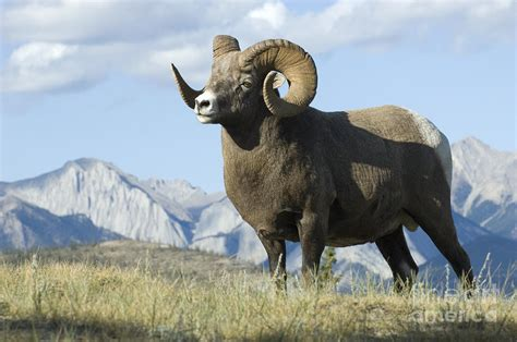 Difference Between Bath And Shower rocky mountain big horn sheep photograph by bob christopher