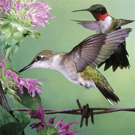 ruby throated hummingbird jigsaw puzzle puzzlewarehouse com