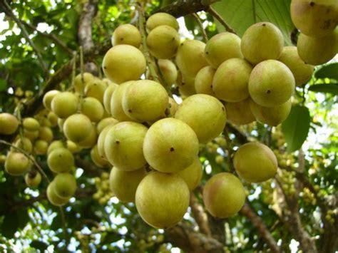 Buah Rambai fruit rambai mentok