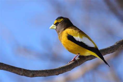 wild birds unlimited photo share evening grosbeak