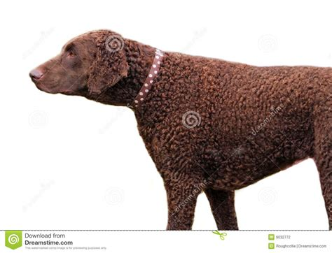 Curly Coated Retriever Stock Photography - Image: 9032772