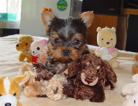 yorkie pups for free x yorkie puppy for free adoption prlog