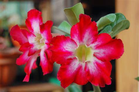 Paket 4 Bibit Kamboja Adenium cara merawat tanaman bunga adenium kamboja jepang