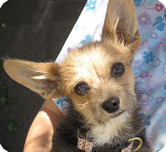 yorkie fox terrier mix raquel adopted puppy sonoma ca yorkie terrier wirehaired fox terrier mix