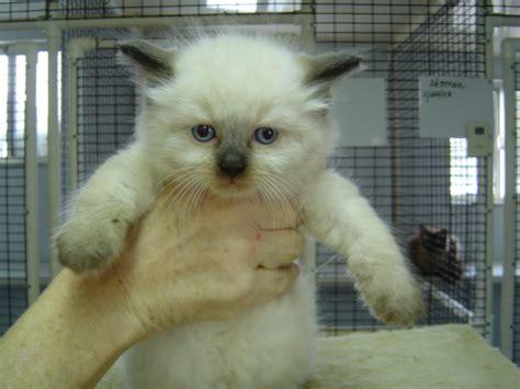 ragdoll cat price ragdoll kittens for sale