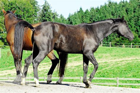 pferde decken lassen der tierarzt kann den eisprung ausl 246 sen bei cavallo de