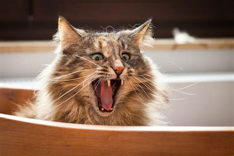 the cat in the funniest cats in the world presented by bestieawards