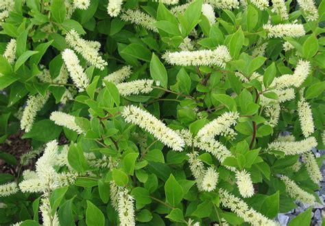 itea in bloom woodbine pinterest