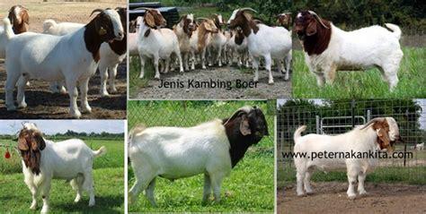 Jual Starbio Plus Di Medan jenis kambing ternak di indonesia peternakankita