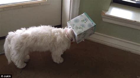 dogs perfect crime  foiled  kleenex box  stuck   head daily mail